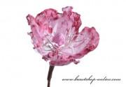Detail anzeigen - Magnolieblüte in weiss-rosa